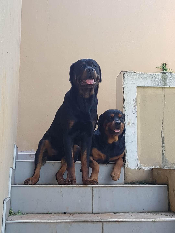 德班罗威纳犬出售