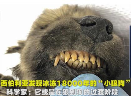 西伯利亚发现冰冻18000年小狼狗:狼与狗过度阶段