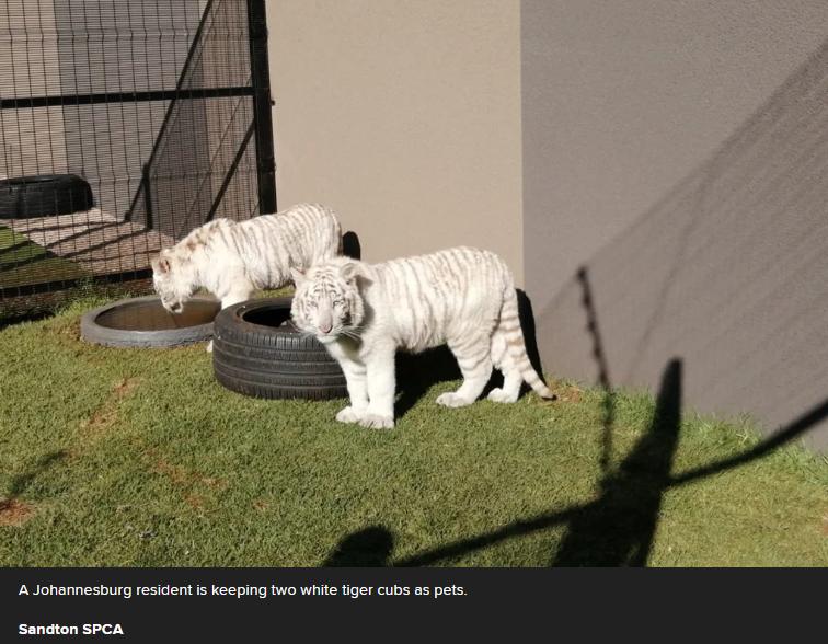 有胆量!约堡一居民圈养两只白虎当宠物