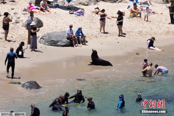 当地时间6月10日,在新冠肺炎疫情期间,美国加州旅游业开始复苏,大批游客前往海边享受阳光,巧的是,一头海狮也选择在这里晒太阳。