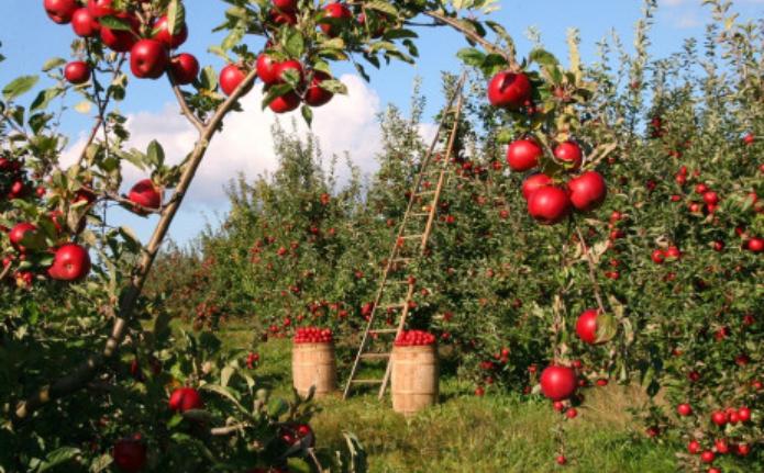 美好的日子即将到来:创纪录的苹果和梨收成可能意味着更多的就业机会