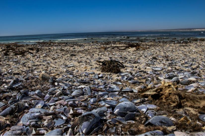 西开普海洋生物再次遭受打击!大量壳类、鱼类被冲到岸边