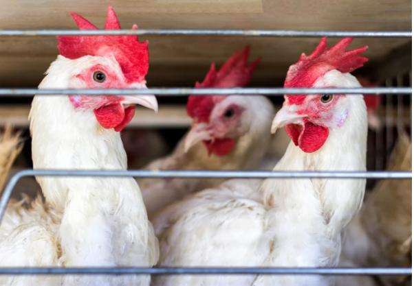 南非再次发现禽流感疫情 又一国家禁止本国产物